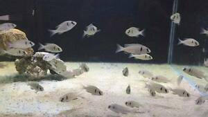 Cichlids for sale Maitland Maitland Area Preview
