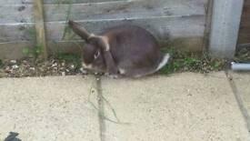 Lop eared bunny