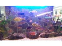 cichlids for sale haps and peacocks £5.oo each