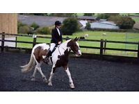 16.1/2 HH TRI COLOURED MARE 3 YEARS OLD