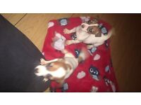 Miniature Jack Russell Pups For Sale