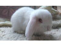 Pedigree mini lop bunnies £40 each
