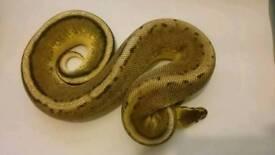 Lemon pastel genetic stripe royal python