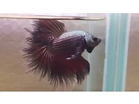 halfmoon FEATHER TAIL male red copper