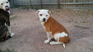 Purebred Scott type American Bulldog Puppies Point Cook Wyndham Area Preview