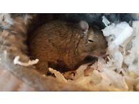 Degu Babies 5, 3 boys, 2 girls