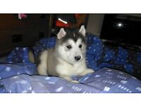 Huskamute! Female. £750!