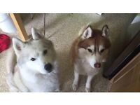 2 Huskies For Sale
