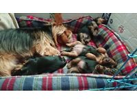 Yorkshire terriers puppies looking for forever home.