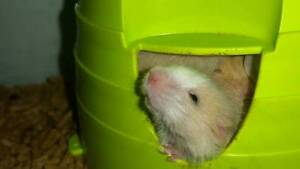 Pet Mice (males and females) From $6ea Kilburn Port Adelaide Area Preview
