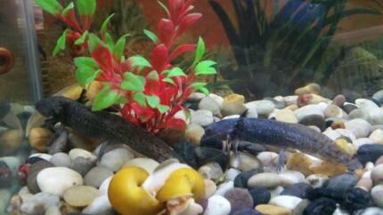 Axolotl's Available At P&K Pets 19 Magill Rd Stepney