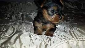 yorkie pups , kc reg , male and female