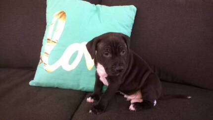 Purebred American Staffy Pups Deception Bay Caboolture Area Preview