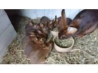 Baby Belgian hares