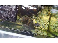 2 yellow belly sliders terrapins 1 male 1 female and 3 foot tank