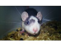 Loving baby rats need homes!