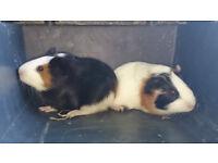 2 male guinea pigs for sale