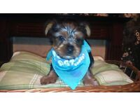 2 cute yorkshire terrier puppies