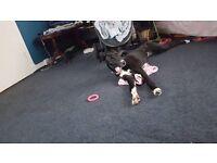 STILL for sale ! luna is a saluki bull greyhound , a very loving playful puppy