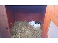 Rabbit/chicken hutch with 3x female rabbits