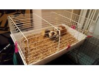 two female under 6 months guinea pigs complete set up