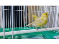 Red eyes satinet pair canary birds for sale