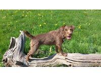 Reward offered female brown Patterdale terrier