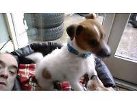 Geordie 4 year old PatterJack needs a new home