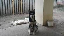 Husky Black and White Blue Eyes (Boy) Coomera Gold Coast North Preview