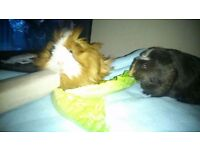 Pair of guinea pigs, hutch and accessories