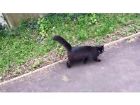 LOST BLACK FLUFFY CAT REDHILL
