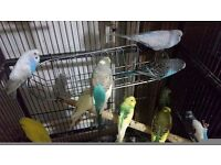 budgies regular and exhibition different colours