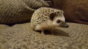 Looking for a female Hedgehog