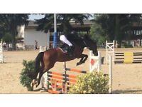 Beautiful KWPN Jumping/ Dressage Mare *FRANCE*