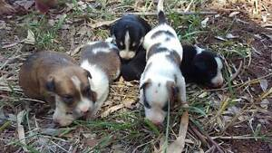 Border Collie X Kelpie Pups FOR SALE Ravenshoe Tablelands Preview