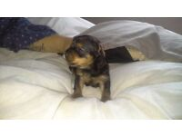3 toy yorkshire terrier puppies