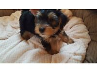 Yorkshire Terrier One puppy left !!