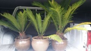 3 Mature Established Cycad in Pots Narre Warren North Casey Area Preview