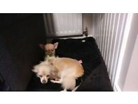 Chihuahua Male Tea Cup Puppy For Sale