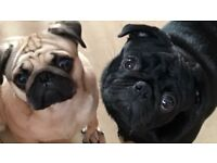 Male and female pedigree pug puppies