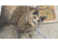 Missing dilute tortie cat , cream chin, lilac, peachy cream coloured , long haired , rescue cat