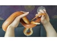 Female Adult Corn Snake & Set Up