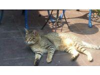 Cat missing still Maidstone