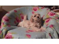 Lhasa apso x Bichon frise puppies - Lachon puppies