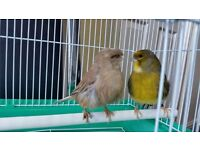Canary gloster very good quality pair and cage