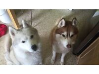 2 Huskies. For sale