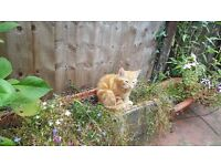 Ginger kitten is looking for good home