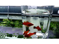 Home bred red wag swordtails. Community tropical fish