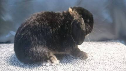 PUREBRED DWARF LOP BUCK - OFFERED BY CLUB MEMBER Leumeah Campbelltown Area Preview
