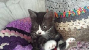 8 week old rescue kitten, all vet work included Port Adelaide Port Adelaide Area Preview